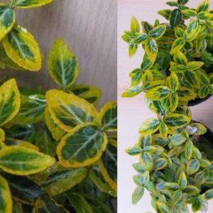 Euonymus fortunei Kriechspindel